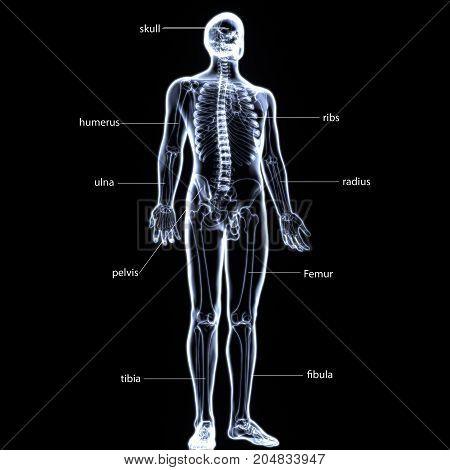 3d illustration of a human skeleton-front side