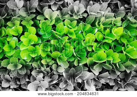 black and white photos of green leaves with a colored green stripe. The problem is in ecology.