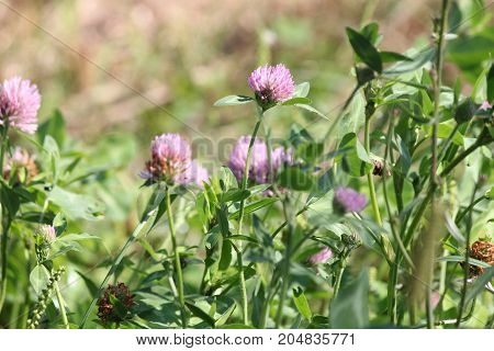 Bee on Clover plant, Clover (Trifolium) is mainly grown because of its positive uses in crops that include hay, silage and soil improvement