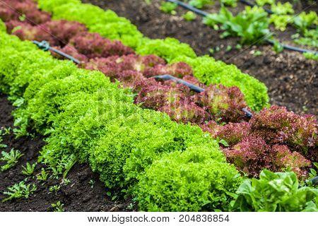 Romaine lettuce (Lactuca sativa) at cultivation field