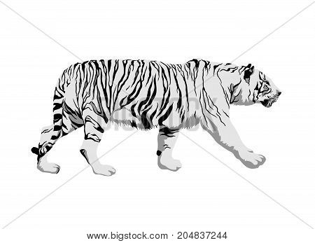 White tiger on white background. Side view