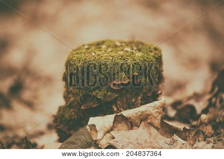 Forest stump with green moss and wood mushrooms, autumn seasonal background