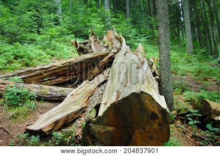 Toppled a large tree lying in a green forest