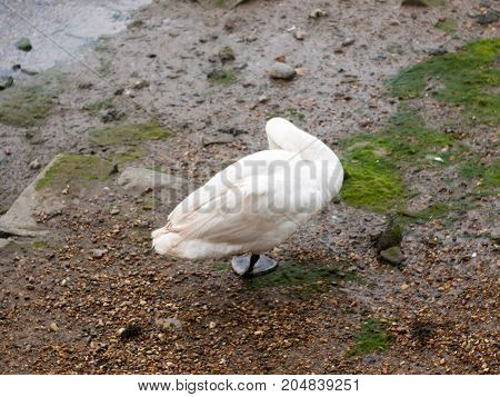 A Single Mute Swan From Behind Below One Foot Preening