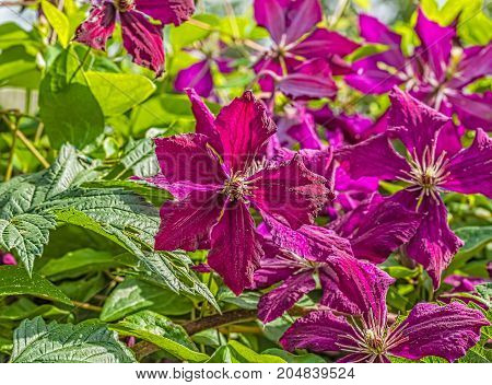 Purple clematis flowers on a blurred background of a sunny summer garden macro