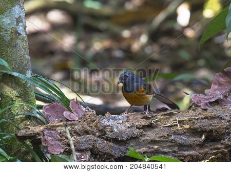 Black-and-orange birds that live in the wild.(White-rumped shama)