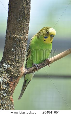 Green and yellow common parakeet resting in a tree.