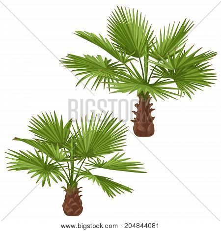 Palm trees isolated on white background. Washingtonia green fan-shaped fronds. Vector flat illustration.