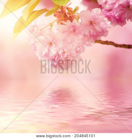 Fresh pink flowers of sakura growing in the garden, natural spring outdoor background