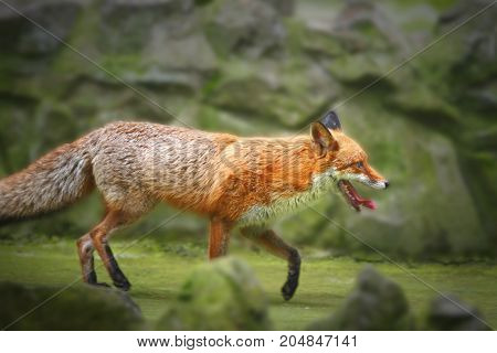 A wild red fox is running in its natural environment