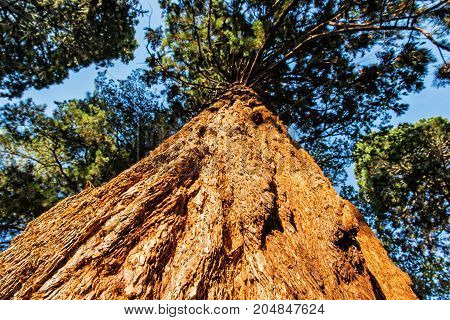 Sequoiadendron giganteum (Giant sequoia Giant redwood Sierra redwood Sierran redwood or Wellingtonia) is the sole living species in the genus Sequoiadendron. Sunset natural scene.