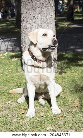 Smiling Labrador Retriever also labrador labradorite for a walk looks in the frame. Portrait of a Labrador's green grass with dandelions. Dog in collar Dog Year 2018.