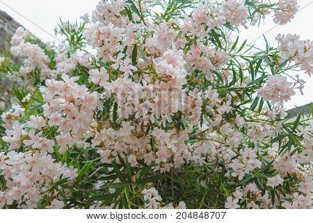 bush of pale pink oleander. blossom pink flowers
