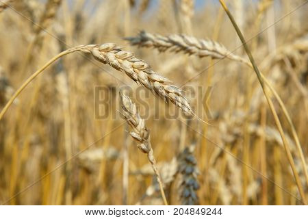 Organic Golden Ripe Ears Of Wheat In Field