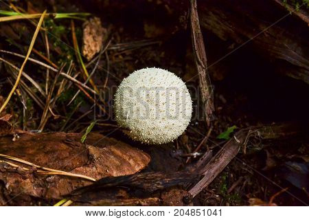 Edible mushroom Common Puffball Lycoperdon perlite macro.