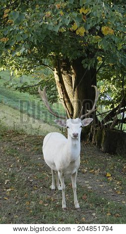 Sika deer European albino early misty morning