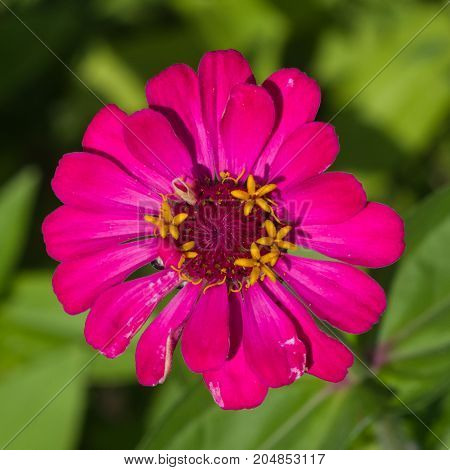 Pink flower of Youth-and-age Zinnia elegans macro selective focus shallow DOF.