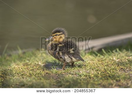 Mallard, Duckling, On The Grass Beside A Pond