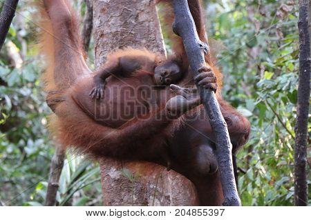 Closeup of baby orangutan hanging on his mother Tanjung Puting National park Borneo.