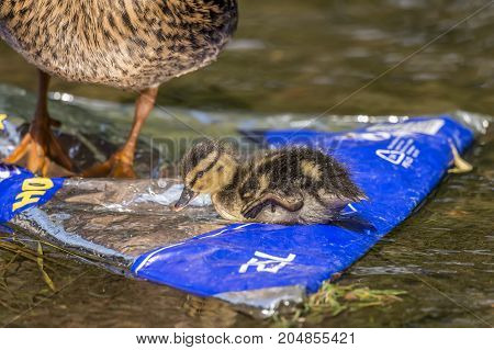 Mallard, Duckling, On A Rubbish Bag In A Stream With Its Mum