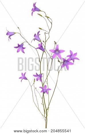 Campanula flower isolated on a white background