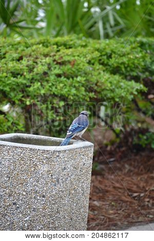 beautiful blue jay hanging out in florida