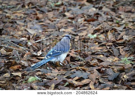 blue jay searching for food in the dead leaves