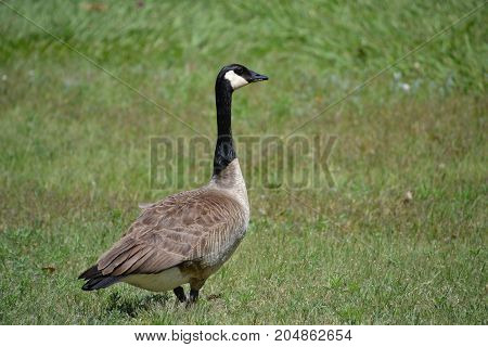 Canadian gees, a large waterfowl,  are fairly common throughout the united states