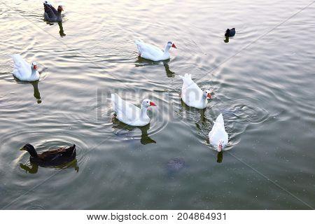 ducks inside the lake of Antonis Tritsis park Attica Greece