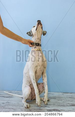 Sitting On Hind Legs English Pointer Womens Hand Holds It