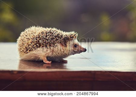 cute hedgehog walks on the table in the yard