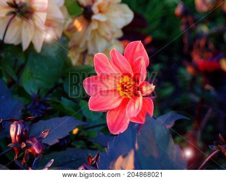 A beautiful pink dahlia flower looks at the rays of the sunset.