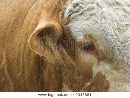 Simmental Bull