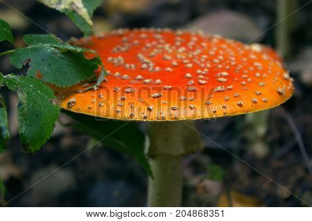 orange amanita muscaria mushroom in the forest