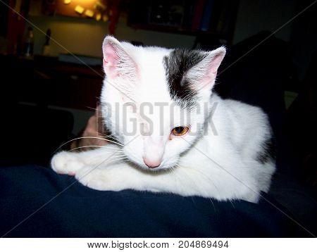 Sweet white and black cat with one eye. feline,