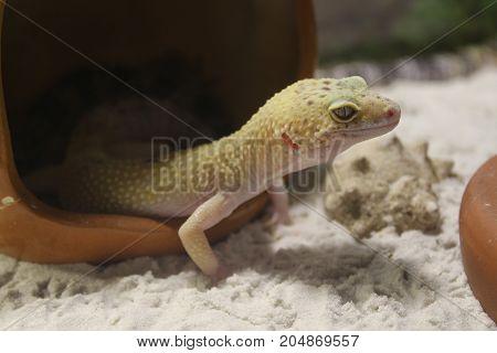 Eublepharis Macularius. Leopard Gecko