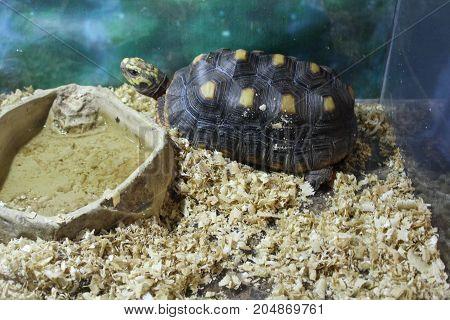Large Swamp Turtle