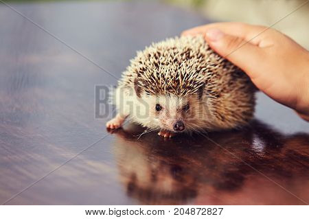 human hand petting a hedgehog on the table