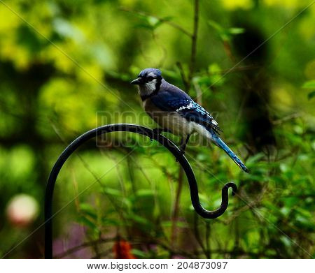 Bluejay on a hook in the summer