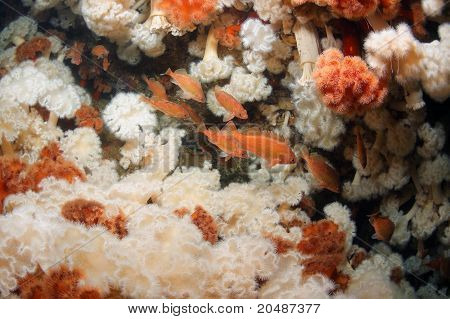 Owston sting fish under water at depth of 40 meters in thickets of sea anemones in sea of japan Russia poster