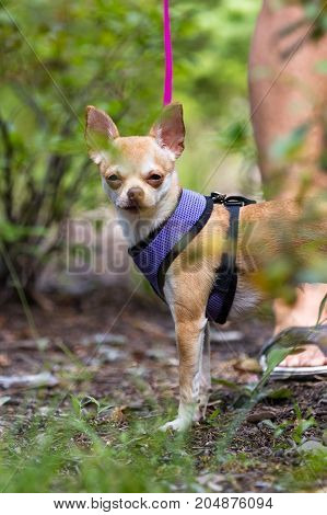 walking a small dog in the woods with a leash and a vest the dog is squinting due to allergies because of the amount of smoke due to forest fires