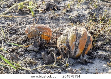Chopped Old Rotten Melon. An Abandoned Field Of Watermelons And Melons. Rotten Watermelons. Remains