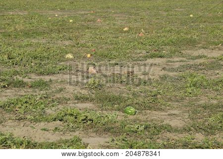 An abandoned field of watermelons and melons. Rotten watermelons. Remains of the harvest of melons. Rotting vegetables on the field poster