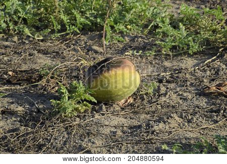 The Rotten Melon.