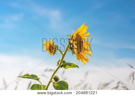Single wild sunflower in backlight. Close up
