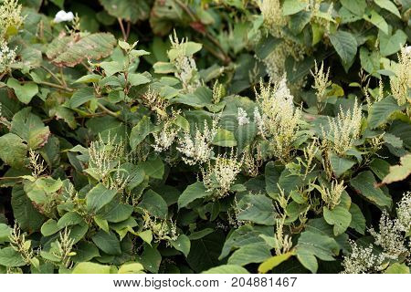 Asian Knotweed (fallopia Japonica)