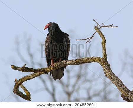 A turkey Vulture perched on a tree branch