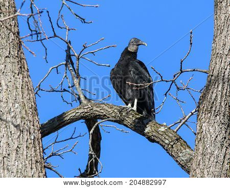 A black Vulture perched in a tree
