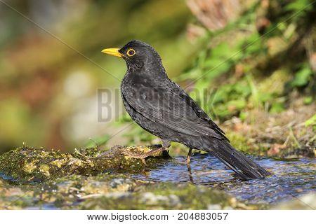 Eurasian or common blackbird, turdus merula in little water