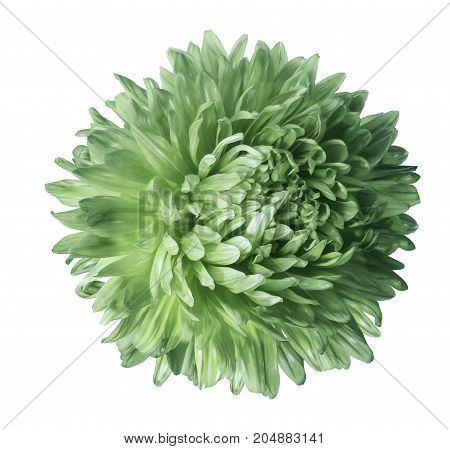 Light green aster flower isolated on white background with clipping path. Closeup no shadows. Nature.